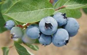 Blueberry Days at Lucky Lake - Click for more details